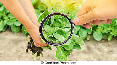 The food scientist checks the cabbage for chemicals and pesticides. healthy vegetables. pomology. farming. harvesting. agriculture crop. study of the structure of the agro-industrial sector