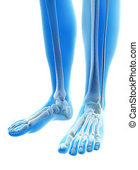 The foot bones - 3d rendered illustration of the foot bones