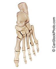 The foot bones - medical accurate illustration of the foot...