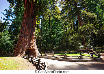 The footpath through tunnel in huge sequoia tree in the...
