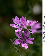 forest mallow (Malva sylvestris) - The forest mallow (Malva ...