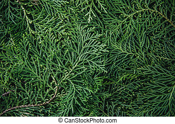 fresh green pine leaves , Oriental Arborvitae, Thuja orientalis (also known as Platycladus orientalis) leaf texture background for design foliage pattern and backdrop