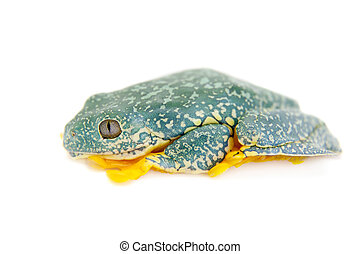 The fringe tree frog on white - The fringe tree frog,...