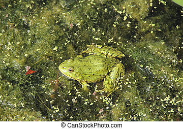 the frog sits in a pond among Tina