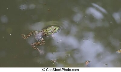 The frog sits in the water - A frog sits in a swamp.The frog...