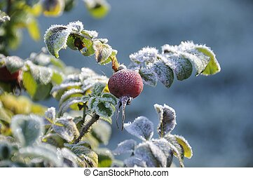 The frost on the leaves of wild rose.