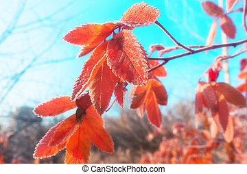 the frost on the leaves on an autumn morning