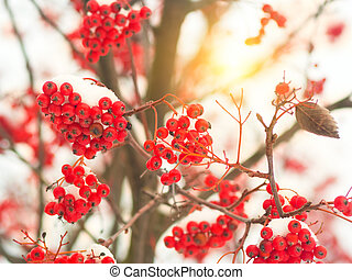 the fruit of the Rowan tree covered with snow