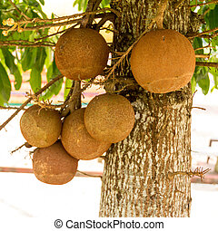 fruit panicle of Cannonball tree - The fruit panicle of...