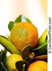 The fruits of calamondin