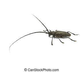capricorn beetle - The fur-tree capricorn beetle with very ...