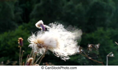 fuzz comes off - the fuzz comes off a flower on a wind