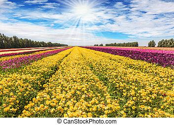 The garden buttercups