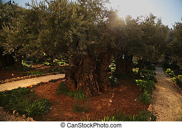 The Garden of Gethsemane in Jerusalem