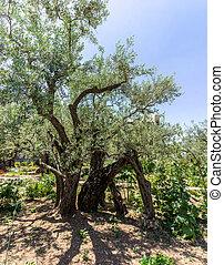 The Garden of Gethsemane in Jerusalem, Israel - The Garden...