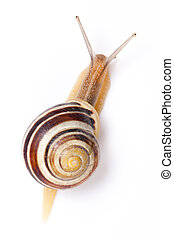 the garden snail in front of white background