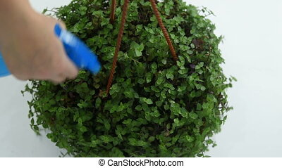 the gardener sprinkles Callisia repens