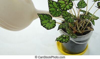 the gardener watering a begonia flower