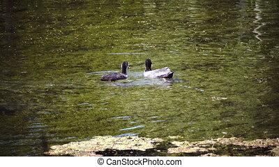 The garganey Spatula querquedula is a small dabbling duck...