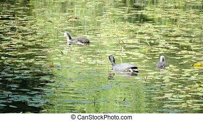 The garganey (Spatula querquedula) is a small dabbling duck...
