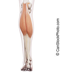 The gastrocnemius - medically accurate muscle illustration ...