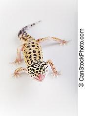 The gecko, bright colorful vivid theme