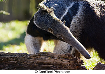 The Giant Anteater, Myrmecophaga tridactyla, is the largest species of anteater. It is found in Central and South America. It is the only species in the Myrmecophaga genus. It is a solitary animal, found in many habitats, including grasslands, deciduous forests and rainforests. It feeds mainly on ...