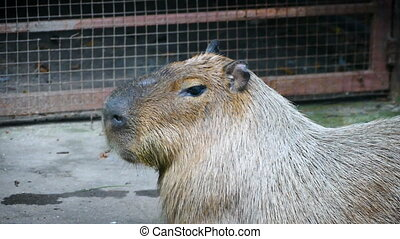 The giant brown capybara