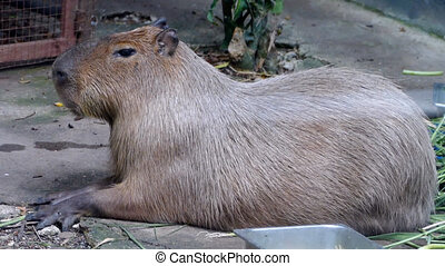 The giant brown capybara ( Hydrochaeris hydrochaeris )