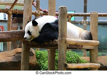The giant panda (Ailuropoda melanoleuca), also known as panda bear or panda.