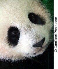 The giant panda cub face (Ailuropoda melanoleuca), also known as panda bear or panda.