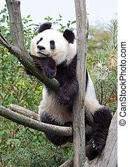 The giant panda in zoo
