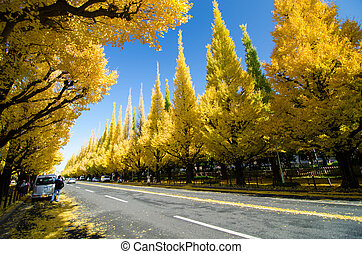 Ginkgo Tree Avenue - The Ginkgo Tree Avenue heading down to...