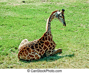 The giraffe sitting on green grass floor