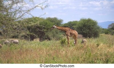 The Giraffe Walking in Savannah of Tanzania National Park, African Safari