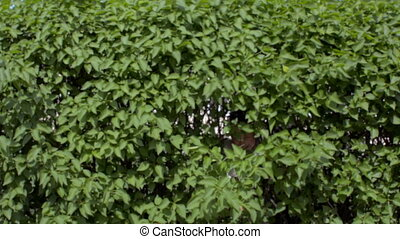 The girl climbs out of the green bushes waving her hand in the camera