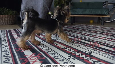The girl drives her dog, a breed of Yorkshire Terrier on the background of a beautiful room. Close up of legs in white sneakers. A beautiful little dog goes through the room on the leash.
