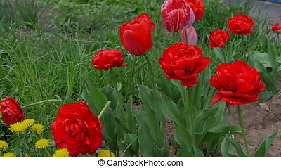 The girl is sniffing flowers. Beautiful, red tulips blossom in the garden.