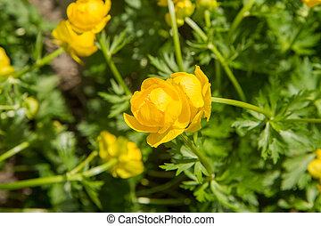The Globeflower blooming