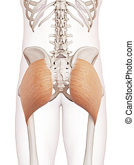The gluteus maximus - medically accurate muscle illustration...