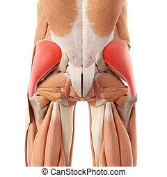 The gluteus medius - medically accurate illustration of the...
