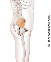 The gluteus minimus - medically accurate muscle illustration...