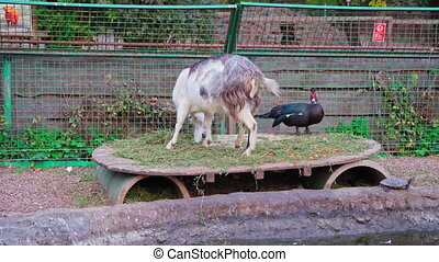 The goat came to the enclosure to the ducks and eats fresh grass. The spleen is not afraid to stand next to him and watches as the goat eats grass. Kyiv zoo.