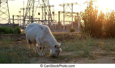 The goat eats grass