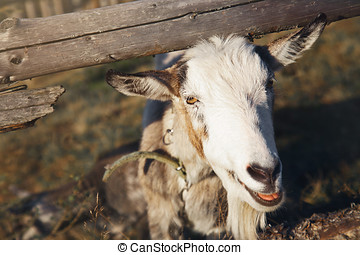 The goat looks out from behind a wooden fence.