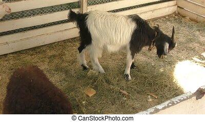 The goat on the farm