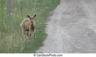 The goat scratches the horns on the ground. A small goat in the village