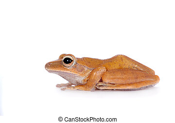 The golden tree frog on white