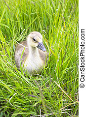 The goose sitting in a grass