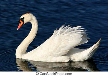The Grace Of The Swan - White swan floating on water.